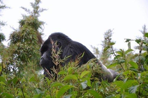 Premier contact : le gorille des montagnes