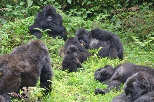 Vie sociale du gorille