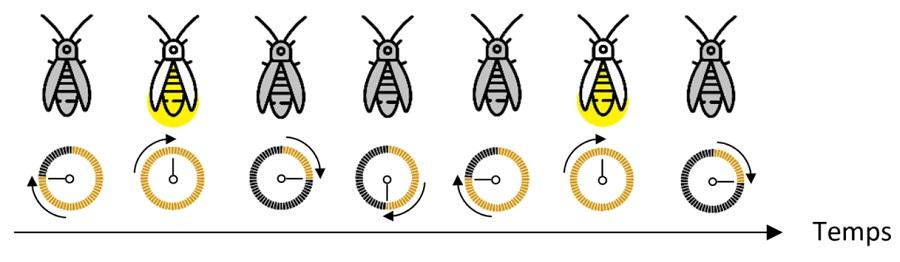 programmer en Python la synchronisation des lucioles dans le cursus Algora pour adultes